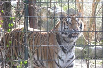 Die größte Raubkatze der Welt: Der Sibirische Tiger. Foto: Jan Engelken